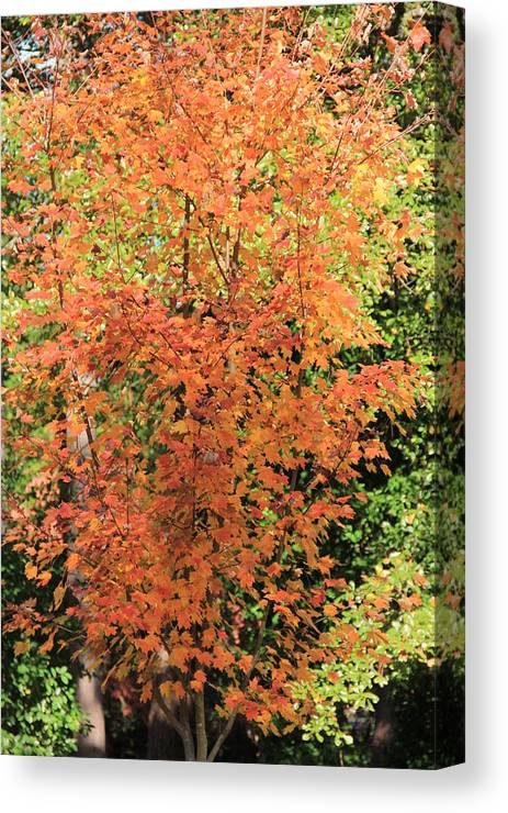 October Glory Maple Canvas Print featuring the photograph October Glory by Matt Woolsey