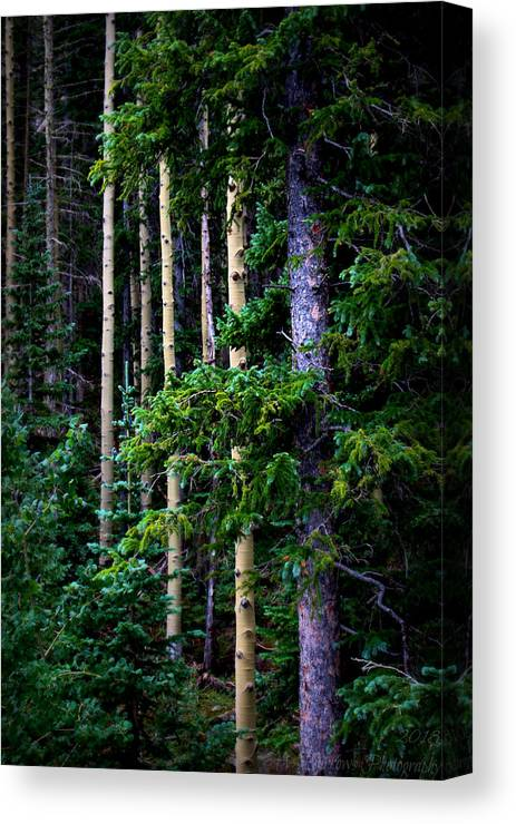 Flagstaff Canvas Print featuring the photograph Old Growth Subalpine Aspens by Aaron Burrows