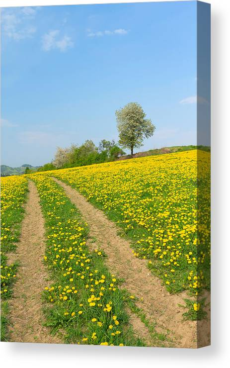 Agriculture Canvas Print featuring the photograph Path In Dandelion Meadow by Jaroslav Frank