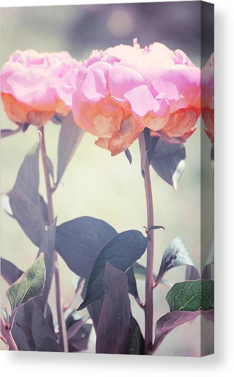 Peony Canvas Print featuring the photograph Peony 4 by Stephie Butler