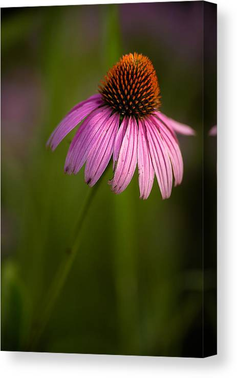 Purple Cone Flower Canvas Print featuring the photograph Purple Cone Flower Portrait by Onyonet Photo Studios