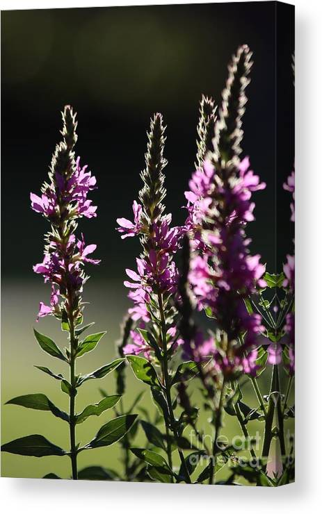Wild Canvas Print featuring the photograph Purple Wild Flowers - 1 by Kenny Glotfelty