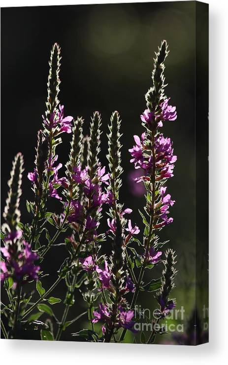 Wild Canvas Print featuring the photograph Purple Wild Flowers - 2 by Kenny Glotfelty