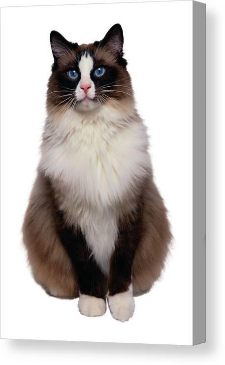 Ragdoll Cat Canvas Print Canvas Art By Gk Hartvikki Hart