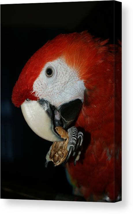 Red Macaw Canvas Print featuring the photograph Red Macaw by Ernie Echols