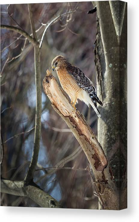 Red Shouldered Hawk Canvas Print featuring the photograph Red Shouldered Hawk Portrait by Bill Wakeley