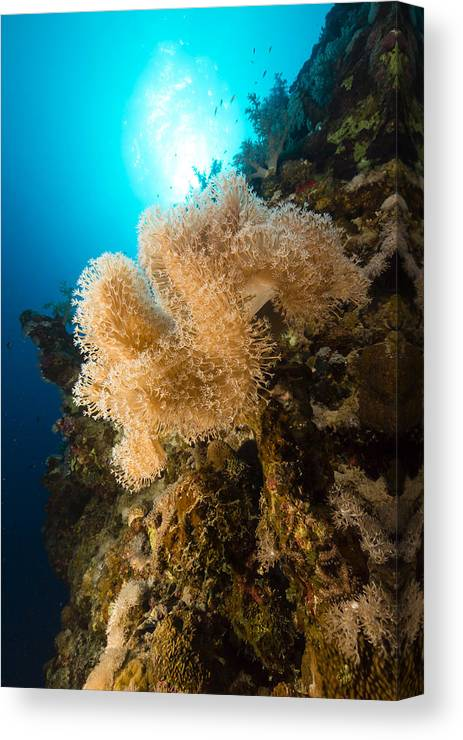 Animal Canvas Print featuring the photograph Slimy Leather Coral And Tropical Reef In The Red Sea. by Stephan Kerkhofs
