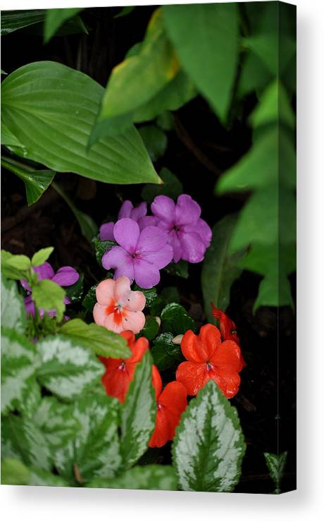 Impatiens; Purple; Pink; Red Canvas Print featuring the photograph Snuggled In by Larry Jones