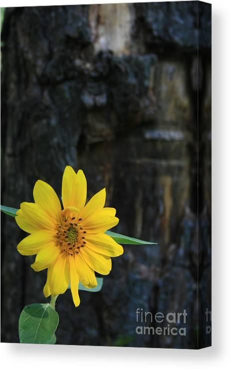 Flower Canvas Print featuring the photograph Sunflower Power by Kathy DesJardins