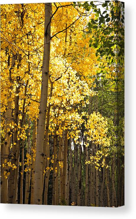 Aspen Canvas Print featuring the photograph The Golden Tree by Eric Rundle