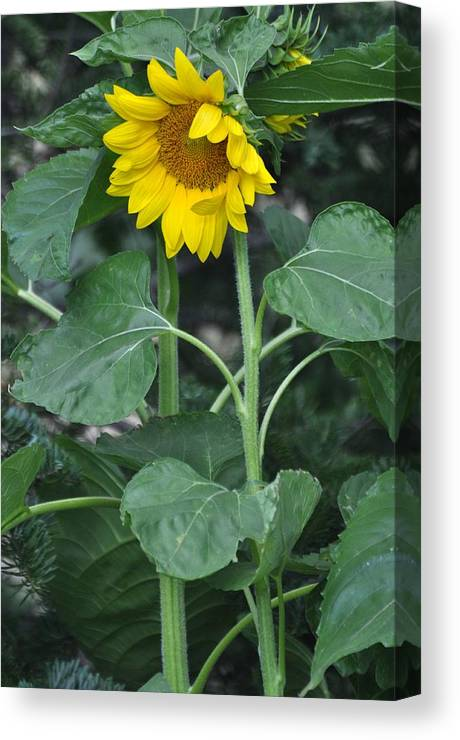 Tall Sunflower Photography Canvas Print featuring the photograph The Tallest Sunflower by Lisa DiFruscio