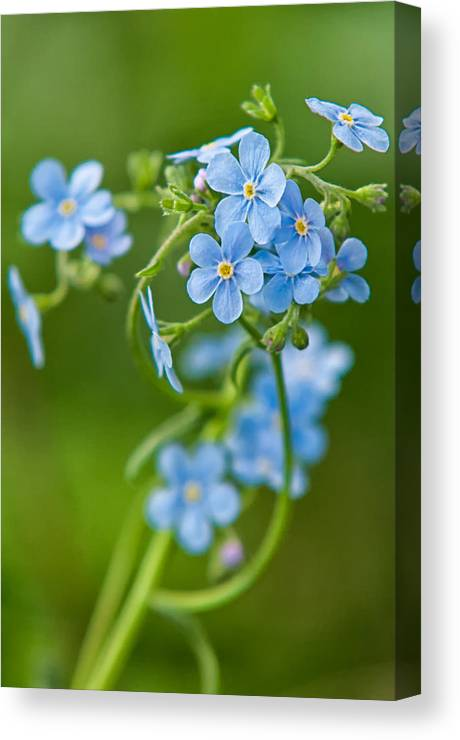 Angiosperms Canvas Print featuring the photograph True Forget-me-not by Rich Leighton