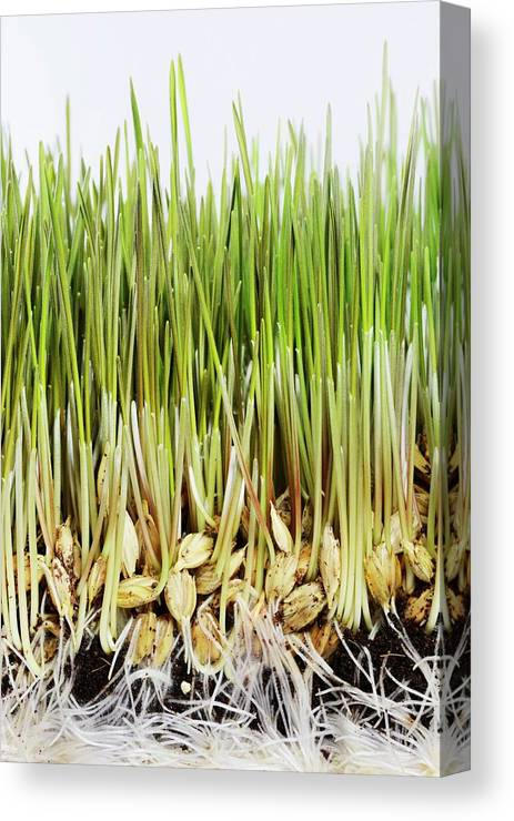 Agricultural Canvas Print featuring the photograph Wheatgrass Seedling by Cordelia Molloy