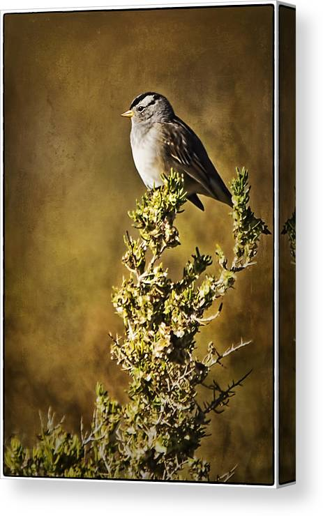 White-crowned Sparrow Canvas Print featuring the photograph White-crowned Sparrow by Priscilla Burgers
