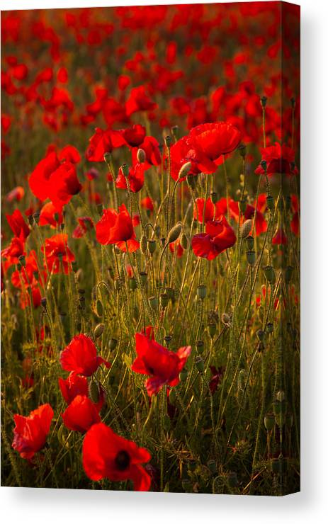Poppies Canvas Print featuring the digital art Wild Poppies by Kevin Marston