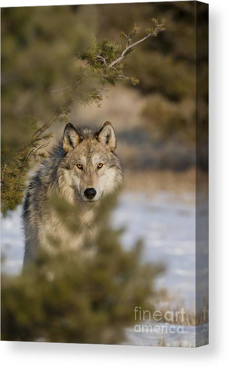 Wolf Canvas Print featuring the photograph Wolf-animals-image-9 by Wildlife Fine Art