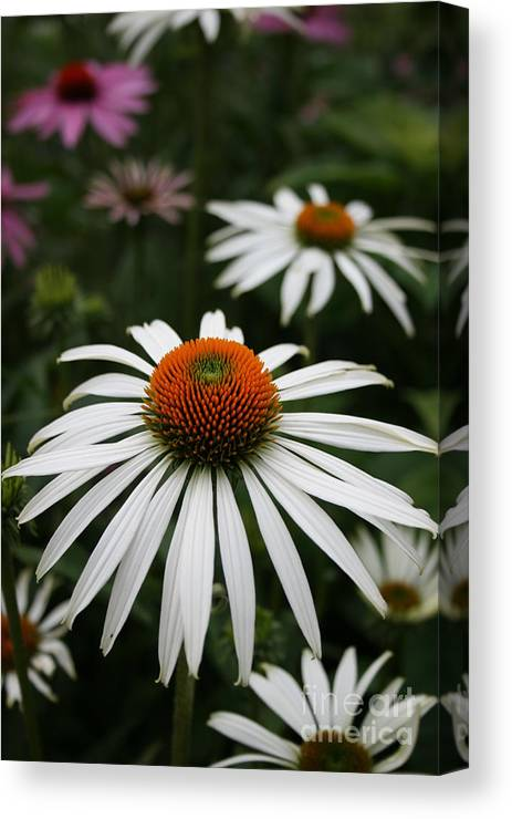 Flowers Canvas Print featuring the photograph Wonderful White Cone Flower by Kathy DesJardins