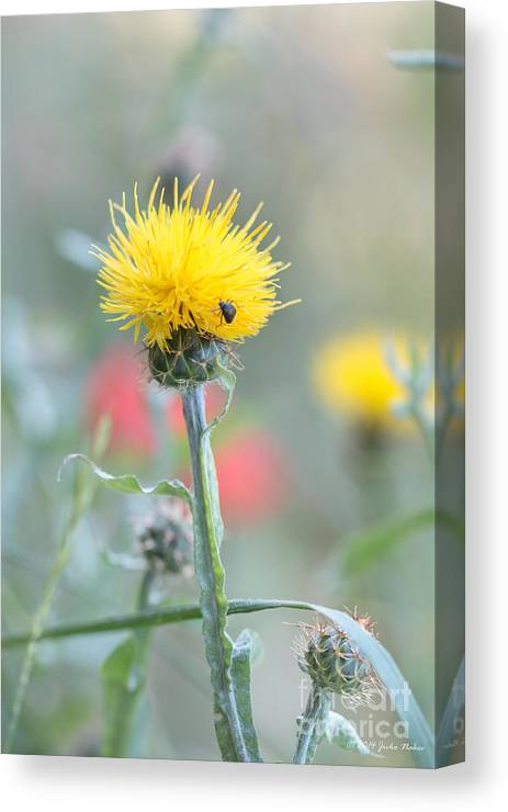 Asterales Canvas Print featuring the photograph Yellow Star-thistle by Jivko Nakev