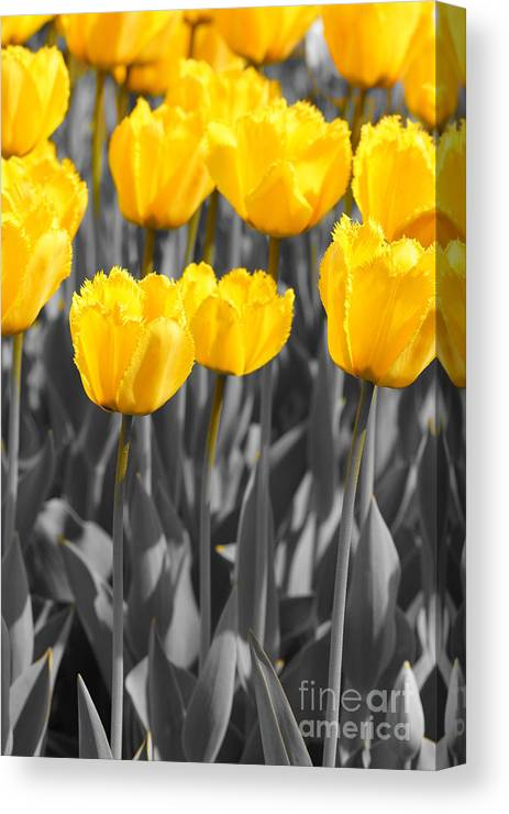 Yellow Tulips Canvas Print featuring the photograph Yellow Tulips by Jeffery L Bowers