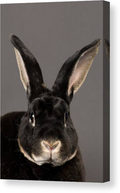 Property Released Photography Canvas Print featuring the photograph A Rex Rabbit Oryctolagus Cuniculus Rex by Joel Sartore