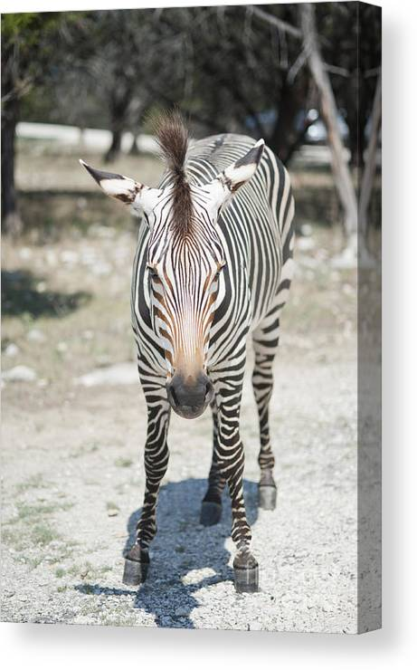 Zebra Canvas Print featuring the photograph A Focused Zebra by Stacey Callaway