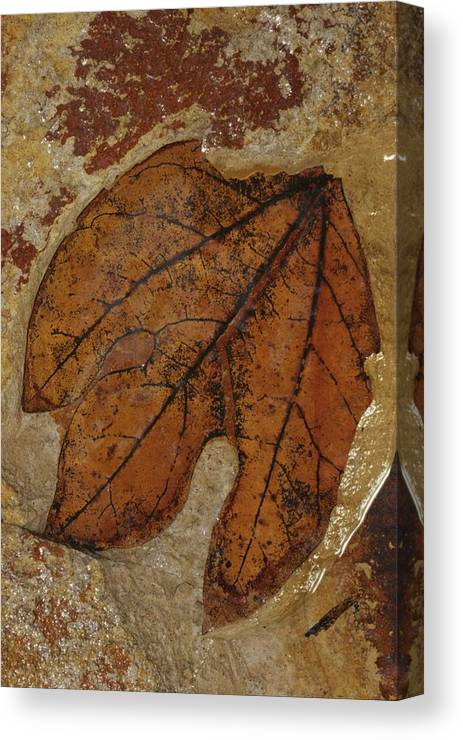 North America Canvas Print featuring the photograph A Fossilized Sassafras Leaf by Jonathan Blair