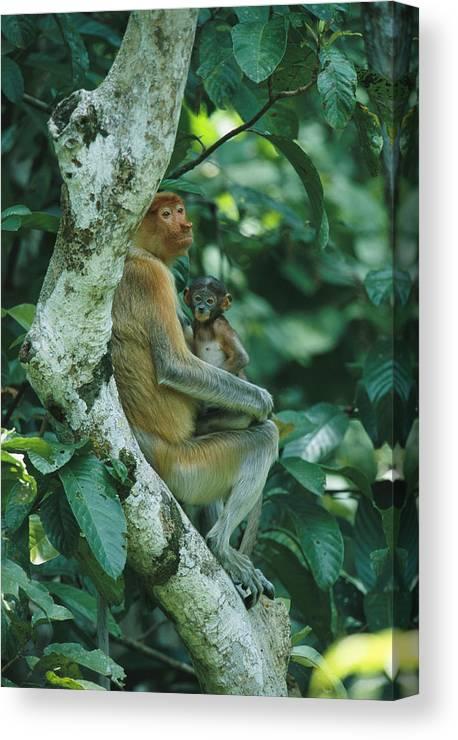 Outdoors Canvas Print featuring the photograph A Proboscis Monkey by Tim Laman