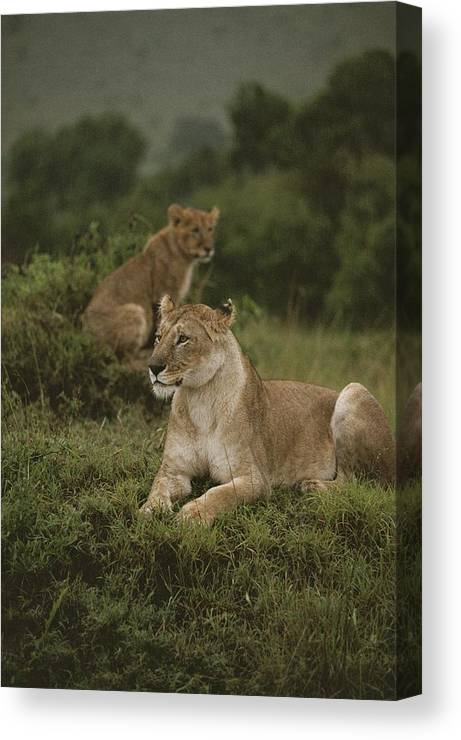 Panthera Leo Canvas Print featuring the photograph African Lionesses In Masai Mara by Anne Keiser
