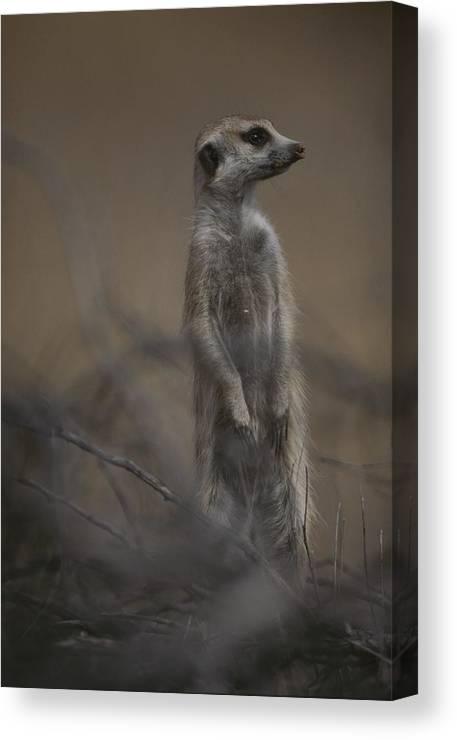 Africa Canvas Print featuring the photograph An Adult Meerkat Suricata Suricatta by Mattias Klum