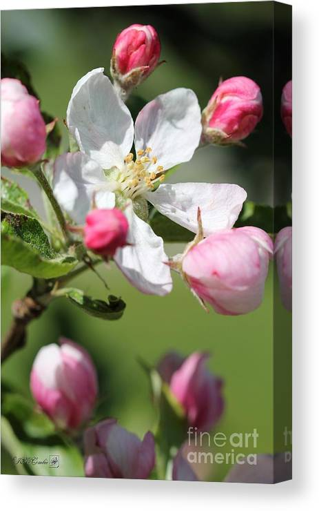 Apple Canvas Print featuring the photograph Apple Blossom by J McCombie
