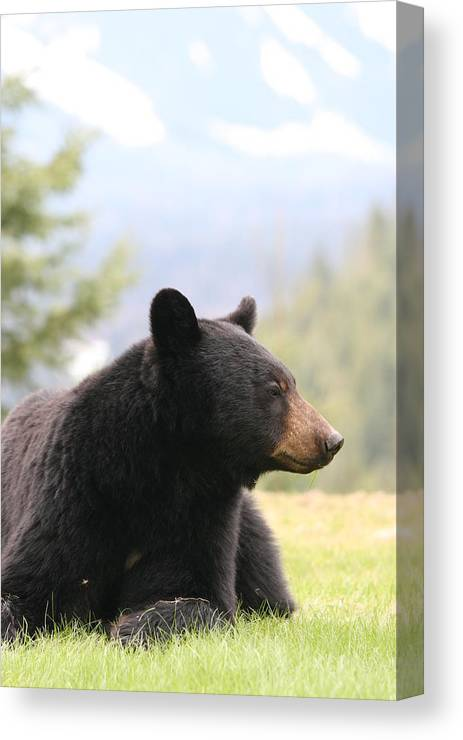 Bear Canvas Print featuring the photograph Big Bear by KevinMichael Couenen
