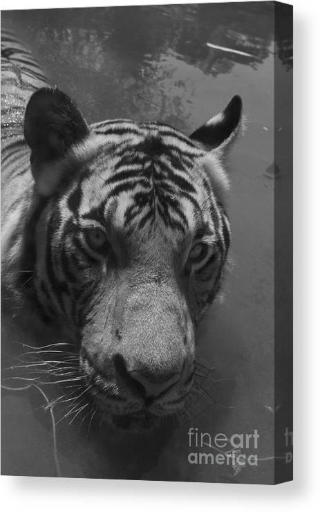 Tiger.big Cat Canvas Print featuring the photograph Big Cat. by Gary Bridger