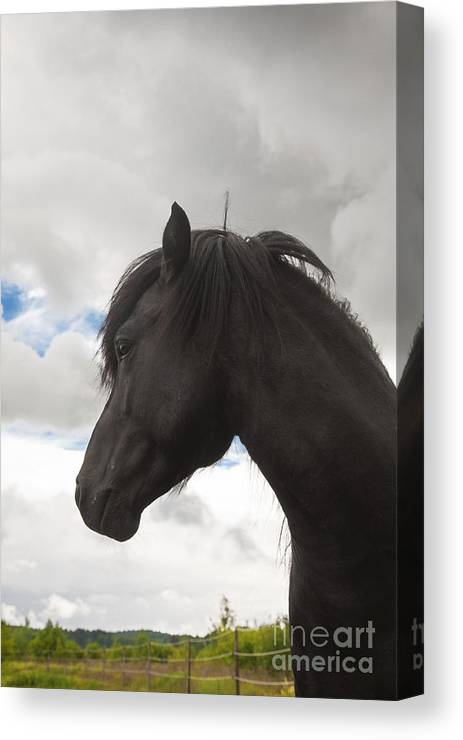 Beautiful Canvas Print featuring the photograph Black Icelandic Horse Stallion by Kathleen Smith