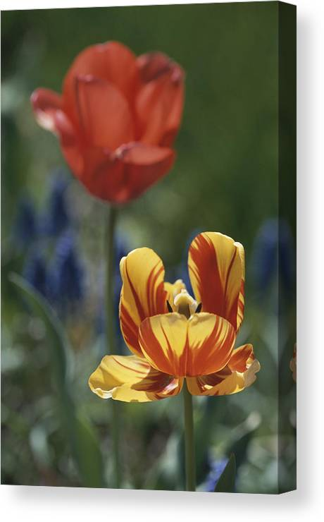 Plants Canvas Print featuring the photograph Close View Of Blossoming Tulips by Darlyne A. Murawski