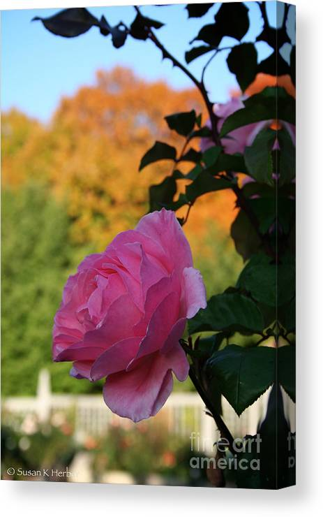 Flower Canvas Print featuring the photograph Fall's Final Rose by Susan Herber