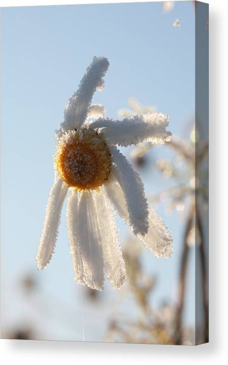 White Canvas Print featuring the photograph Frosty Flower by Ulrich Kunst And Bettina Scheidulin