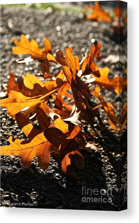 Outdoors Canvas Print featuring the photograph Golden Oak Shadows by Susan Herber