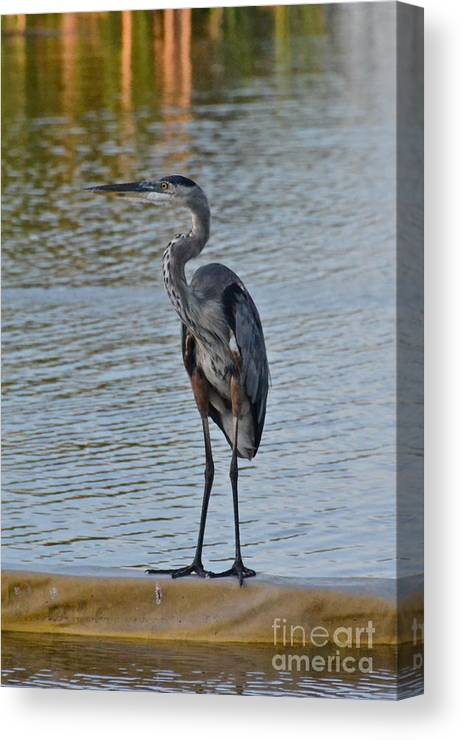Bird Canvas Print featuring the photograph Great Blue Heron by Carol Bradley