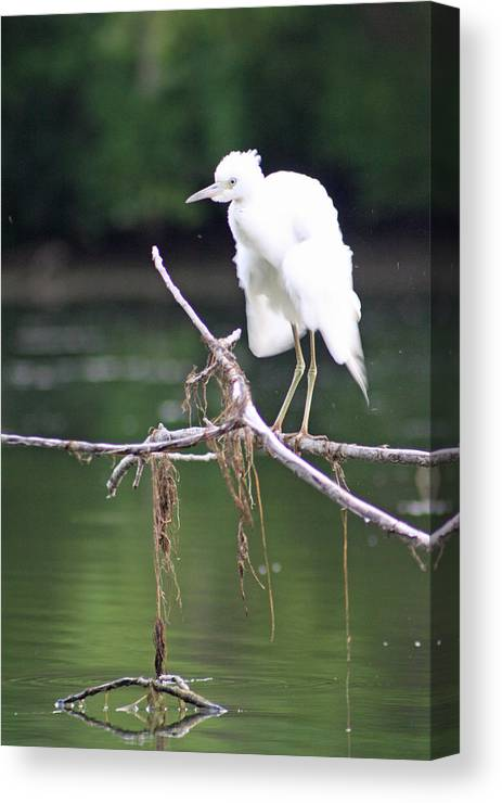 Little Blue Heron Canvas Print featuring the photograph Little Blue by Deb Kline