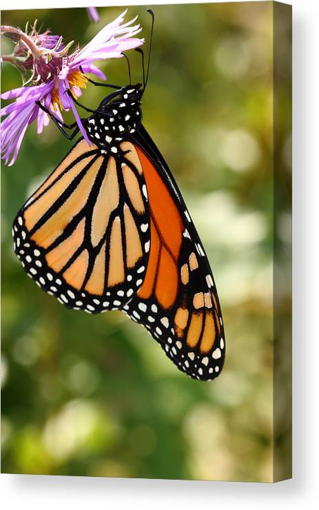 Butterfly Canvas Print featuring the photograph Monarch Rest by Paul Slebodnick