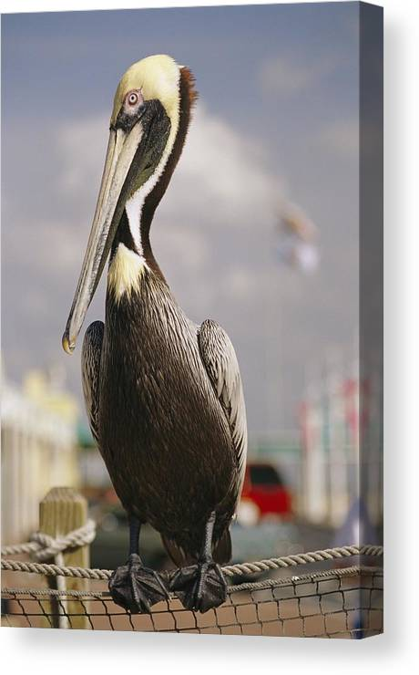 North America Canvas Print featuring the photograph Pelican Visiting City Marina by Richard Nowitz