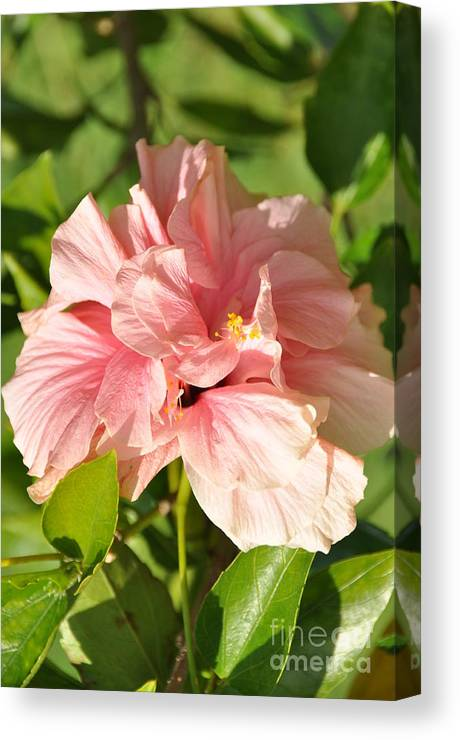 Hybiscus Canvas Print featuring the photograph Pink Double Hibiscus by John Black