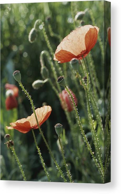 Europe Canvas Print featuring the photograph Poppies In A Field In Provence by Nicole Duplaix