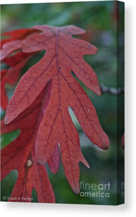 Outdoors Canvas Print featuring the photograph Red Oak Leaf by Susan Herber