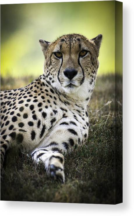 Animals Canvas Print featuring the photograph Resting Cheetah by Chad Davis