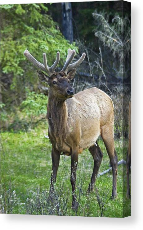 No People Canvas Print featuring the photograph Roe Deer In Forest, Canadian by Axiom Photographic