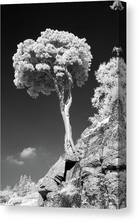 Vertical Canvas Print featuring the photograph Scots Pine Tree by Taken by Timothy Ball