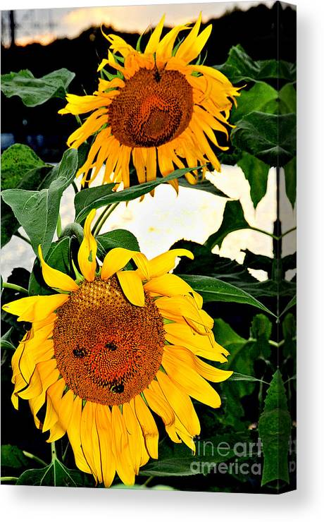 Flowers Canvas Print featuring the photograph Sunset Sunlowers by Ben De Marco