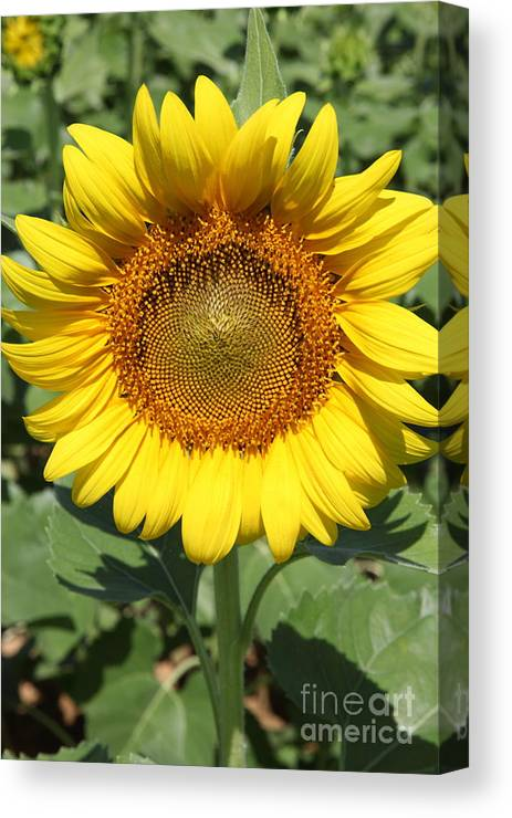 Sunflowers Canvas Print featuring the photograph Sunflower 09 by Amanda Barcon