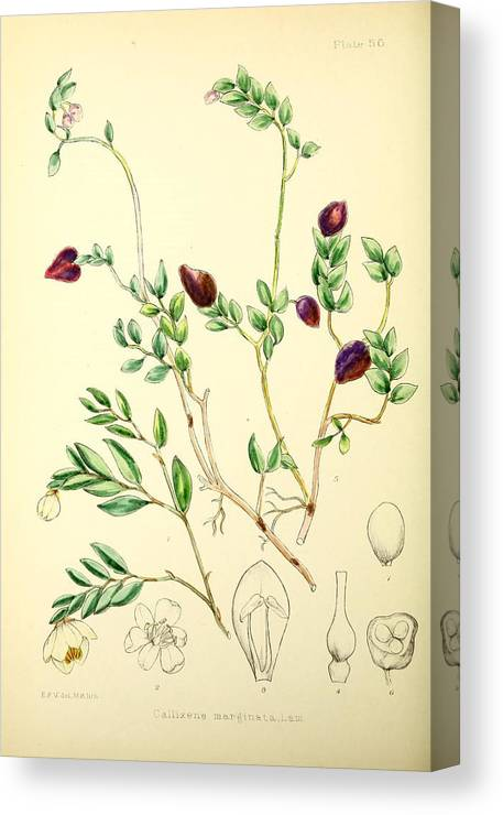 Illustrations Of The Flowering Plants And Ferns Of The Falkland Islands Canvas Print featuring the painting Illustrations Of The Flowering Plants And Ferns Of The Falkland Islands by MotionAge Designs